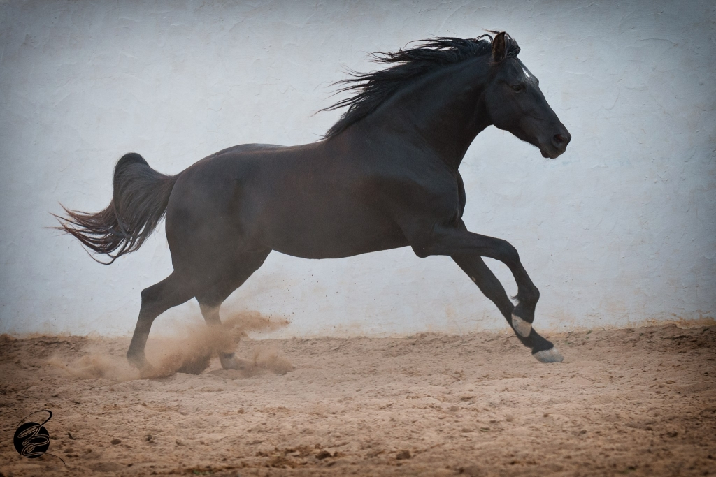 Arab-Barb stallion