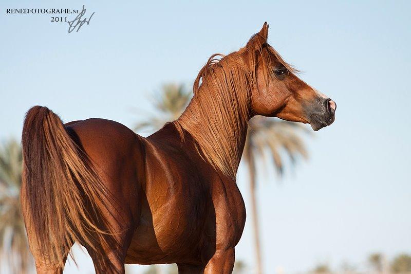 Arab Full-blood horse
