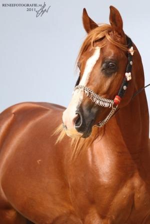 arab horse picture