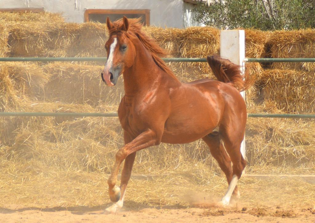 Arabic horse gait