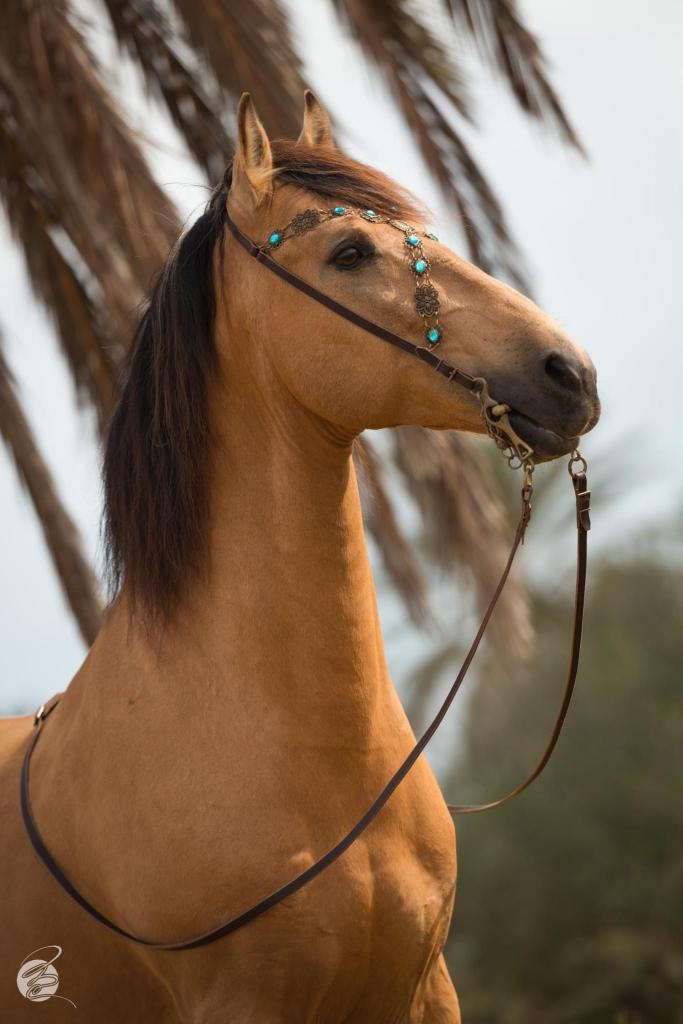 Barb horse portrait