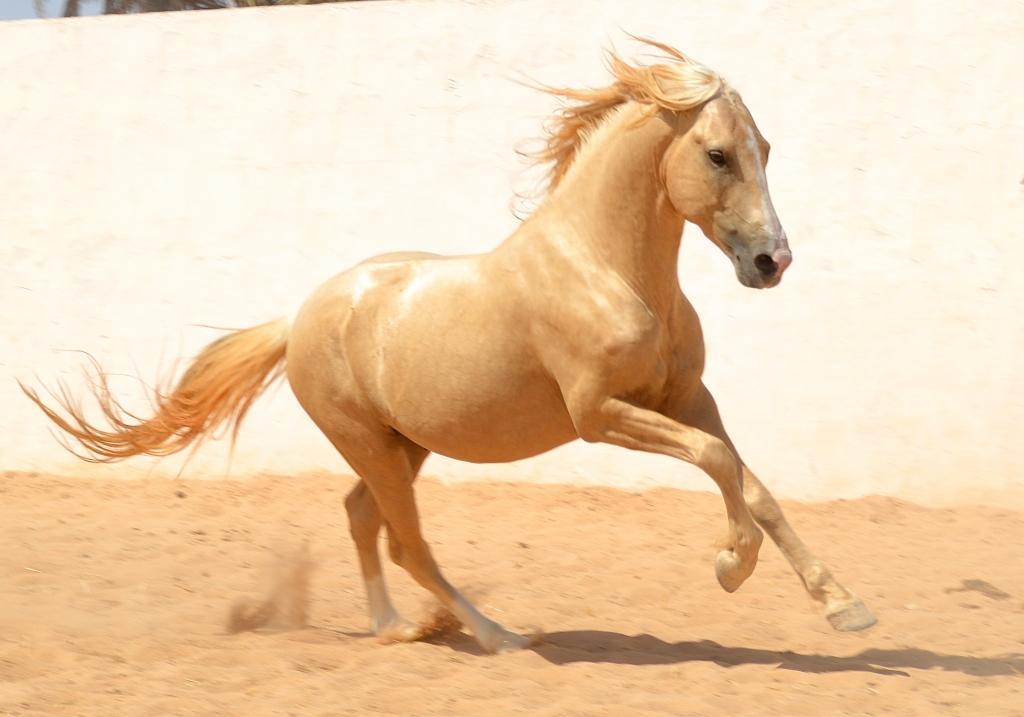 Barb stallion galloping