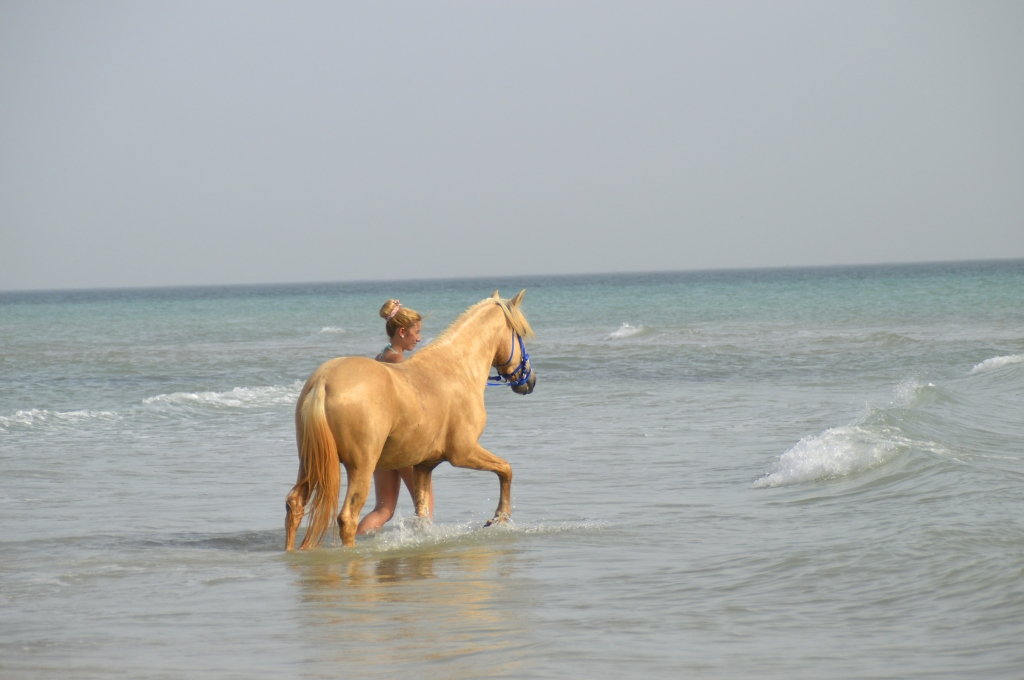 Barb Stallion in the sea