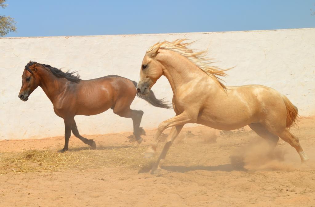 Horses galloping in paddock