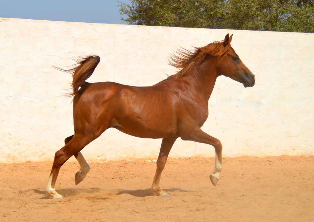 Arab horse photography