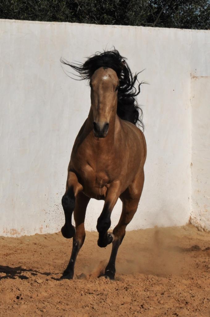 barb horse running