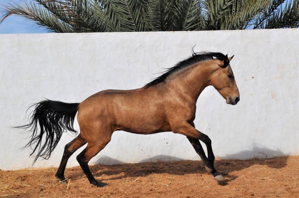 barb stallion buckskin